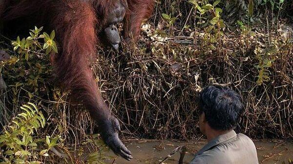 Орангутан протягивает руку помощи человеку в реке