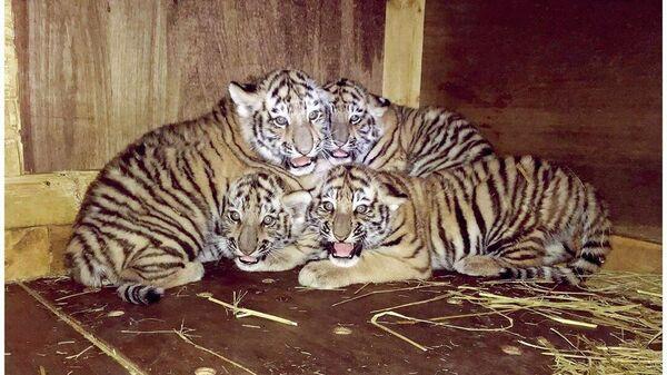 Детеныши тигрицы Кассандра в японском зоопарке Оморияма, расположенном в городе Акита