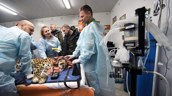 Ветеринарные врачи осматривают дальневосточного леопарда Leo 131M Эльбрус в Центре реабилитации и реинтродукции тигров и других животных во Владивостоке