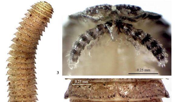 Hirudicryptus abchasicus