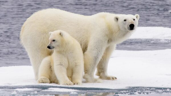 Полярная медведица с медвежонком на льдине