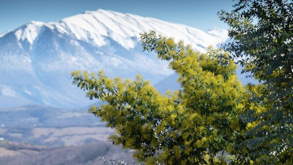 Цветущее дерево мимозы на фоне заснеженных гор в Сочи