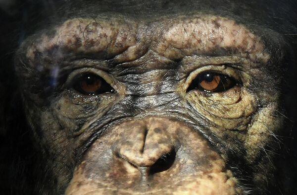 Молодая самка шимпанзе Анфиса в парке флоры и фауны Роев ручей на окраине Красноярска