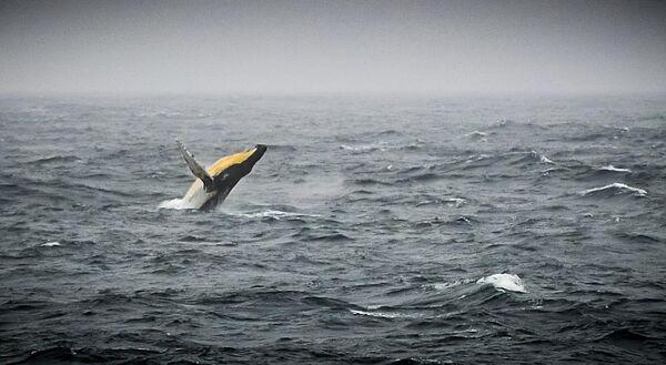 Горбатый кит в море Беллинсгаузена у побережья Антарктиды, расположенном в Тихоокеанском секторе Южного океана