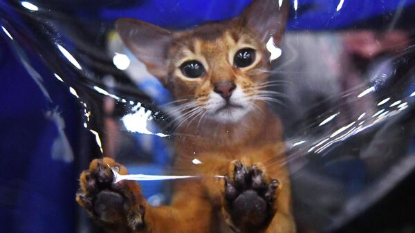 Кошка породы абиссинская