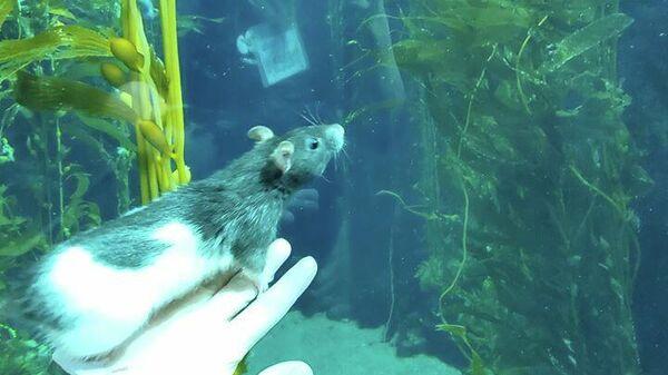 Крыса на экскурсии по закрытому Калифорнийскому научному центру