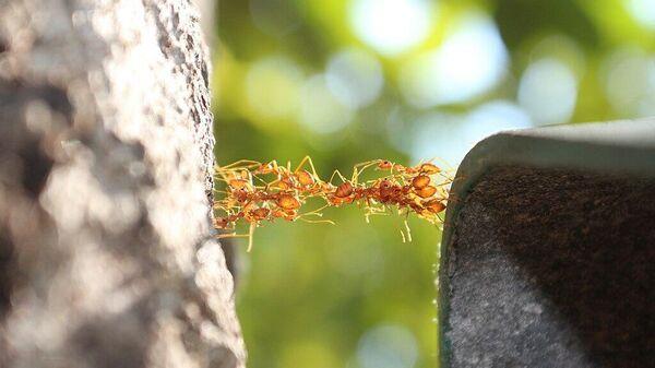 Движущийся мост, автор Игорь Чухланцев. Муравьи, строящие мост из своих тел так, чтобы по нему смогли пробегать другие особи.