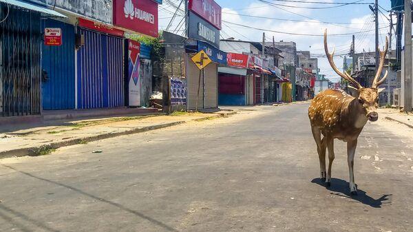 Дикий олень на пустынной улице в портовом городе Тринкомали, Шри-Ланка