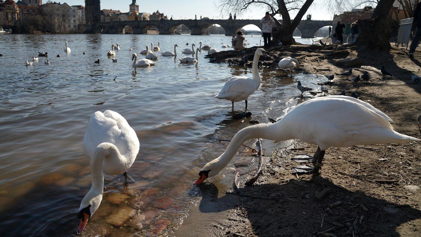 Обои Лебеди, чехия. Города foto 15