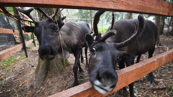 Северные олени в подмосковном центре передержки животных