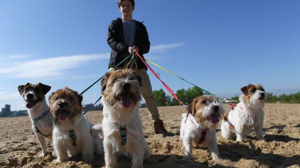 Собаки породы джек-рассел-терьер во время тренировки собак по курсингу - полевым испытаниям с приманкой