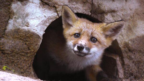 В Саратове ввели карантин из-за бешенства лисы