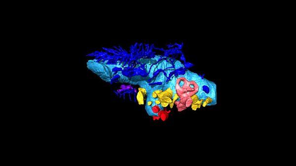 Трехмерная виртуальная реконструкция мозга анкилозавра Bissektipelta archibaldi