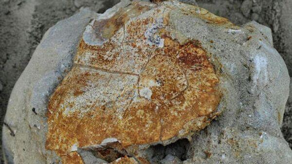 Окаменелые останки древней черепахи возрастом 8 миллионов лет, обнаруженне на Ставрополье