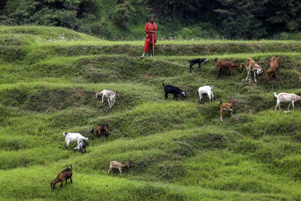 Женщина пасет своих коз на полях в Бхактапуре, Непал