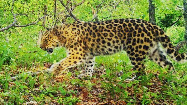 Дальневосточный леопард Пуха в нацпарке Земля леопарда