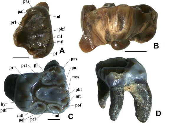 Зубы гигантской белки-летяги,  обнаруженной учеными УрФУ