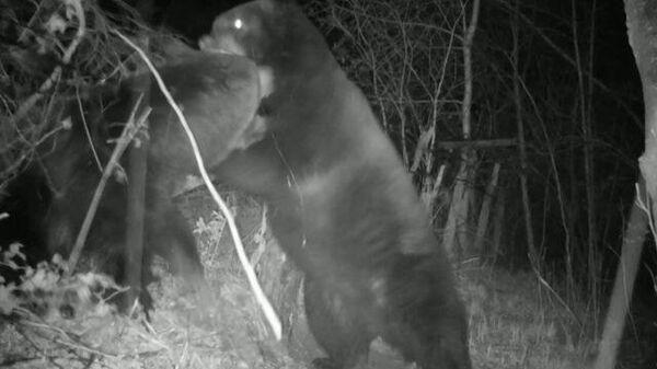 Фотоловушка зафиксировала драку двух медведей