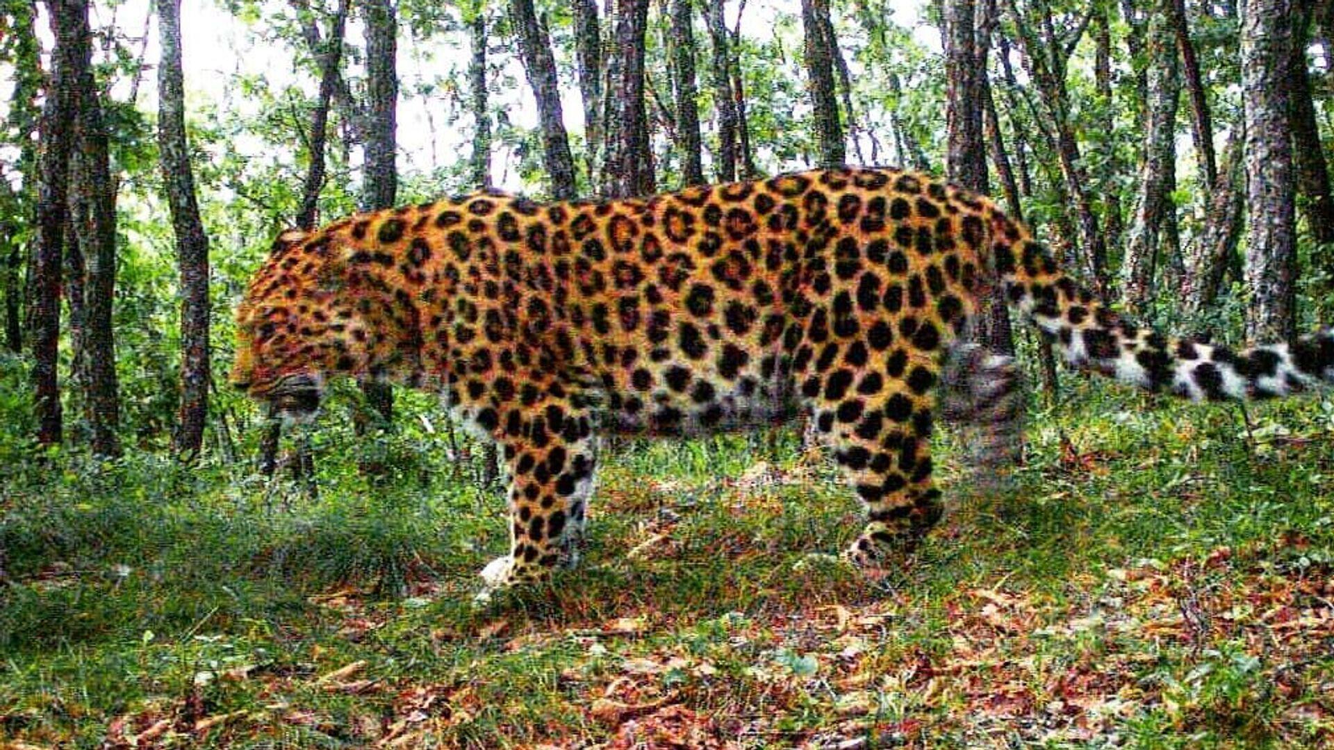Дальневосточный леопард Leo 118M в Нацпарке Земля леопарда - РИА Новости, 1920, 04.07.2020