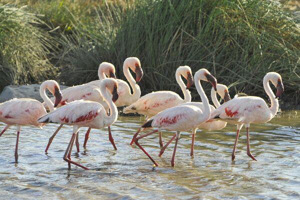 Фламинго в национальном парке Серенгети в Танзании