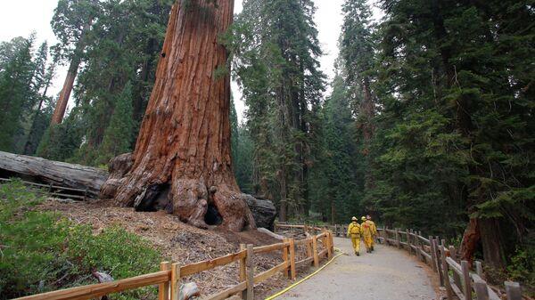 Доисторические деревья-гиганты могут появиться в Европе, считают ученые