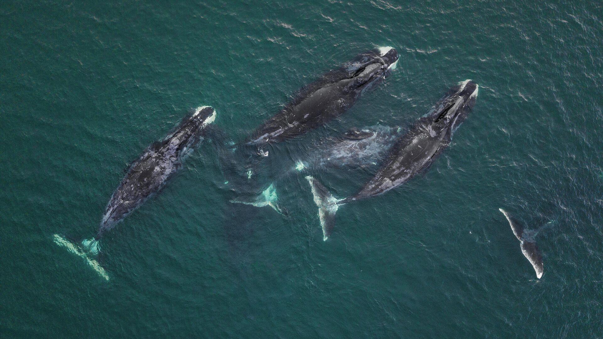 Шантары. Гренландские киты - РИА Новости, 1920, 07.08.2020