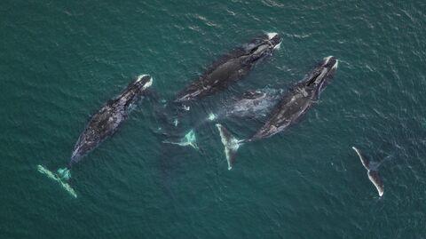 Шантары. Гренландские киты