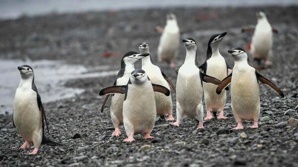 Антарктические пингвины на острове Кинг-Джордж (Ватерлоо) в Антарктиде