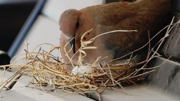 В Дубае птицы свили гнездо на капоте машины наследного принца
