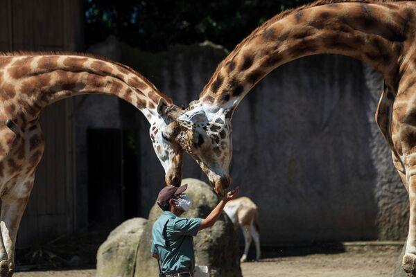 Сотрудник зоопарка кормит жирафов в Ла-Авроре, Гватемала
