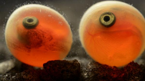 Кадр из фильма Нерка. Рыба красная