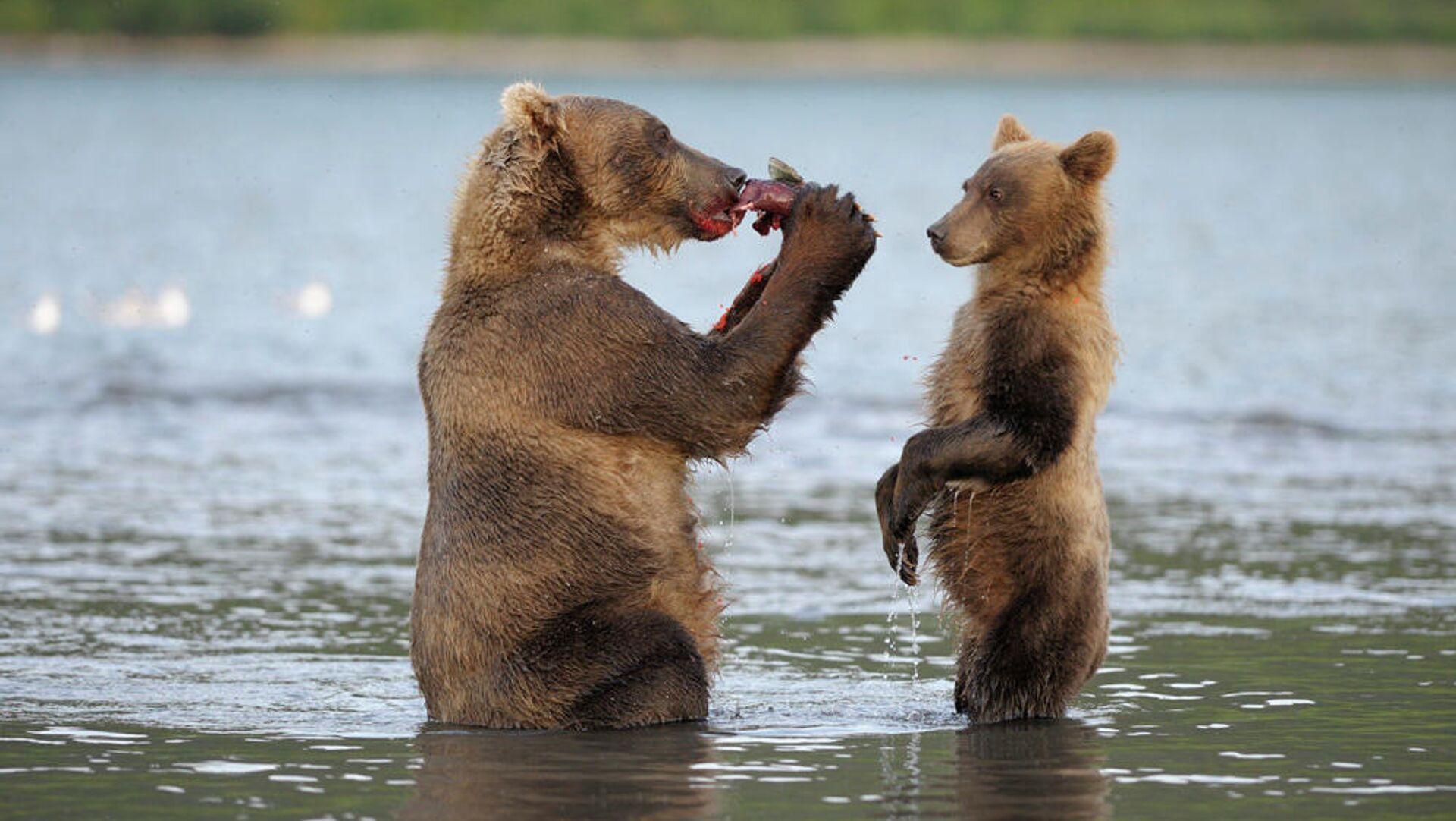 Медведи на Курильском озере - РИА Новости, 1920, 04.09.2020