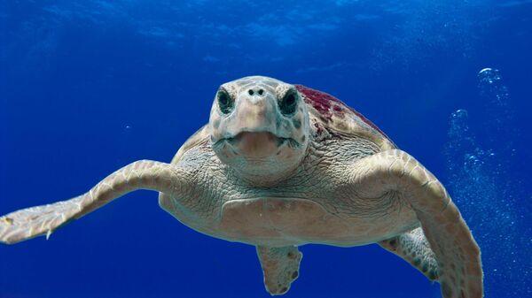 Логгерхед, головастая морская черепаха