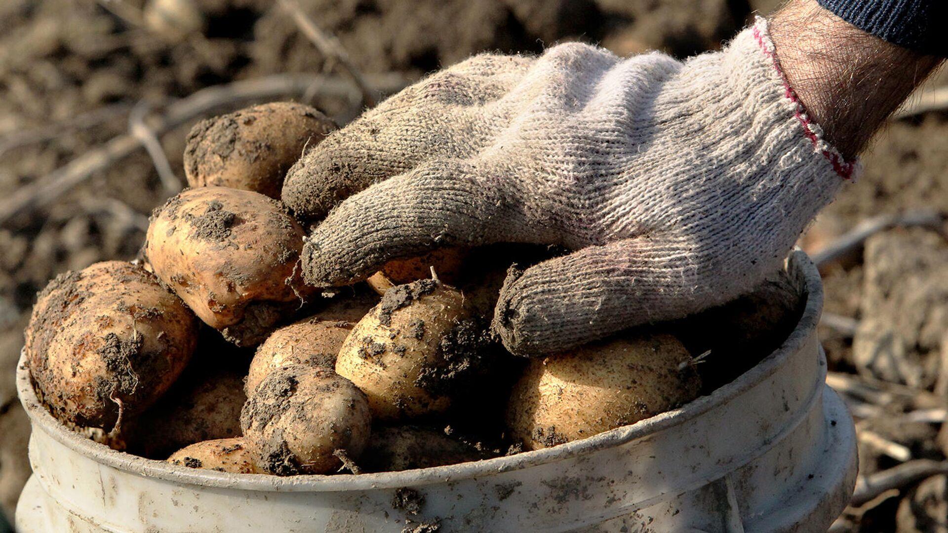 Сбор урожая картофеля - РИА Новости, 1920, 16.09.2020