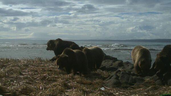 Многодетная медвежья семья на берегу Кроноцкого залива