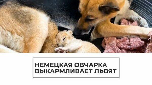 Царь зверей под боком у собаки: овчарка выкармливает львят