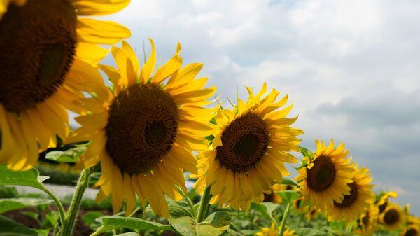 Цветение подсолнечника на полях в Краснодарском крае