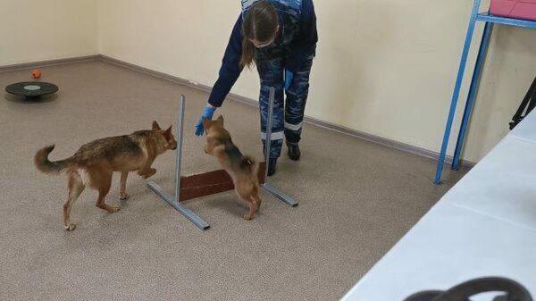 Шалайки: собаки, которых обучают распознавать больных COVID-19