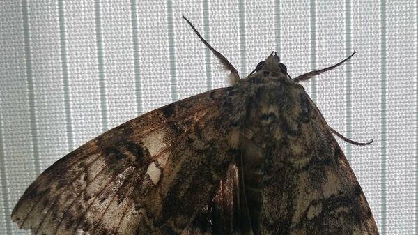 Бабочка Голубая лента