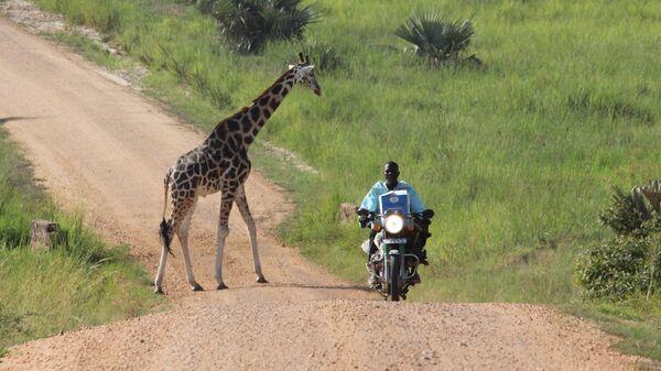 Мотоциклист проезжает мимо жирафа в Уганде