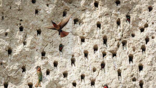 Красногорлые щурки недалеко от водопада Мерчисон в Уганде