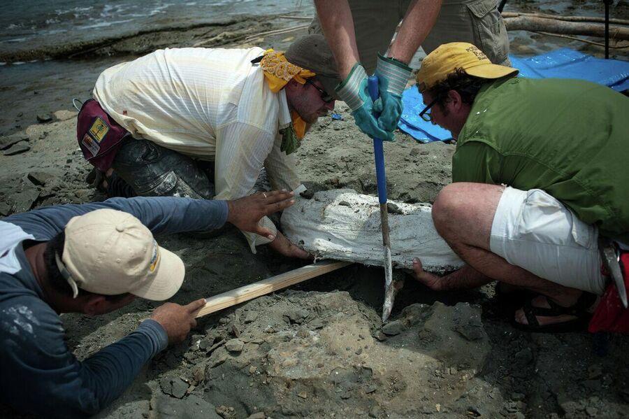 Ник Пайенсон с коллегами собирают ископаемые останки речного дельфина Isthminia panamensis