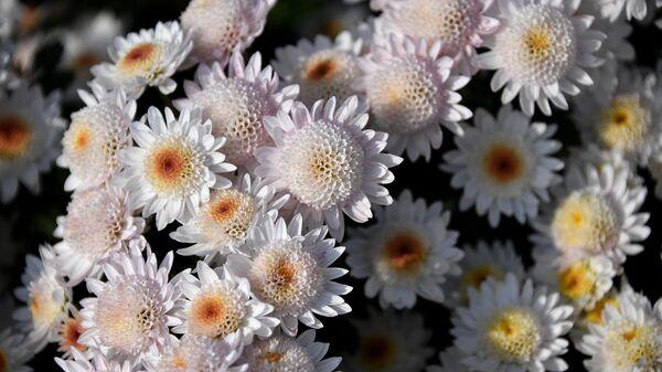 Хризантемы. Архивное фото