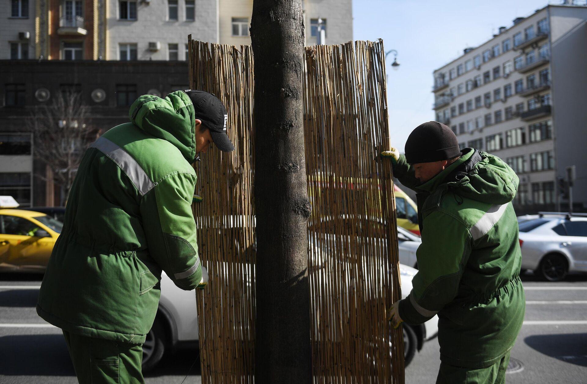 Работники коммунальной службы заменяют оплетку из бамбука на стволе дерева на Тверской улице в Москве. - РИА Новости, 1920, 05.11.2020