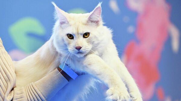 Кошка породы мейн-кун на выставке Кэтсбург в Москве