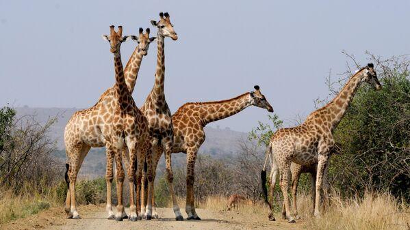 Жирафы в национальном парке Хлухлуве-Умфолози