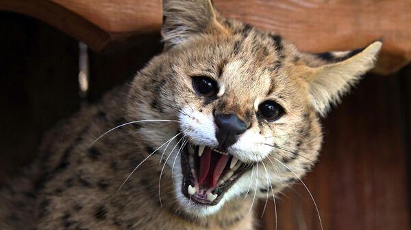 Кот сервал