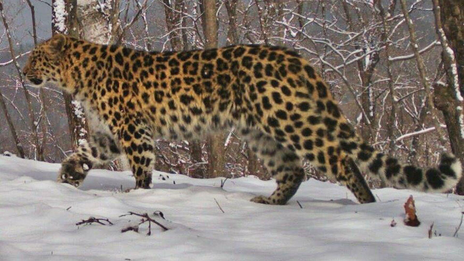 Дальневосточный леопард Leo 148F - РИА Новости, 1920, 31.12.2020