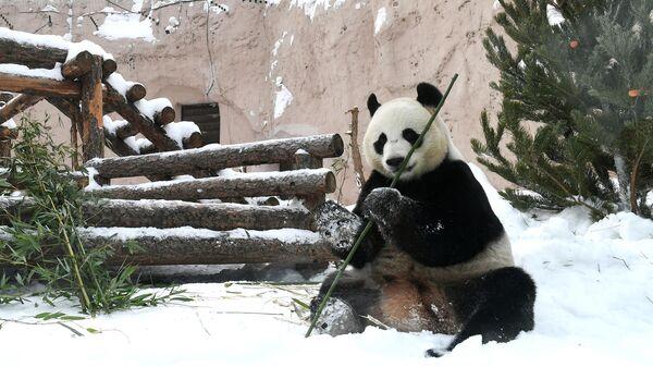 Большая панда в вольере Московского зоопарка