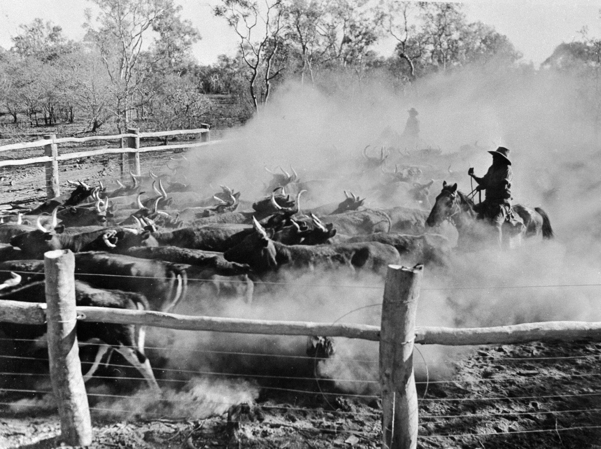 Пастухи загоняют в загон стадо крупного рогатого скота - РИА Новости, 1920, 25.01.2021